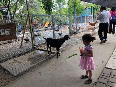 樹谷農場餵羊